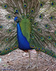 Peacock - Ellen Trout Zoo, Lufkin.