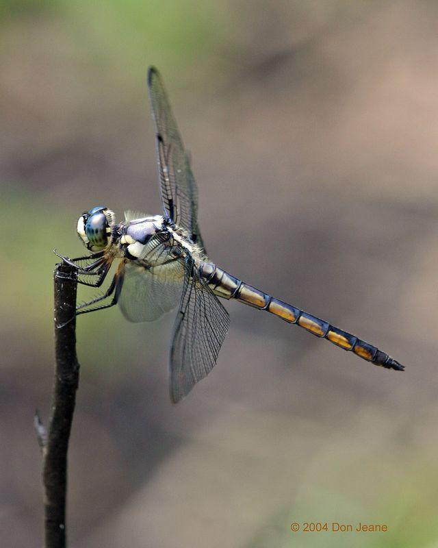 Dragonfly - May, 2004.