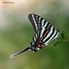 Zebra Swallowtail, Silsbee, Aug, 2006.
