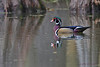 Wood Duck,  Steinhagen Lake, Oct 16, 2012.
