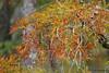 Cypress, Steinhagen Lake, Oct 18, 2012.