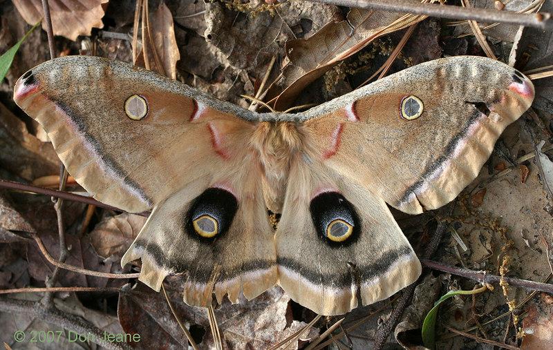 Silk Moth (Antheraea Polyphemus). March, 2007.