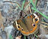 Common Buckeye - Oct, 2004.