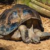 Galapagoas Tortoise