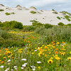 """Atlantic Coast sand dune nearly covered with """"African Daisies"""" <br /> at West Coast National Park. South Africa<br /> September 1, 2013"""