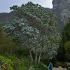 Cape Silver Tree (Leucadendron argenteum) - a giant member of the Protea Family.<br /> It grows naturally only on east and south facing slopes of Table Mountain chain in South Africa.<br /> Kirstenbosch Garden, Cape Town, South Africa<br /> August 31, 2013
