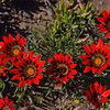 Gazania rigida blooming in Namaqualand<br /> near Nieuwoudtville, South Africa<br /> September 2, 2013