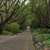 Avenue of Camphor trees, planted about 1896<br /> after Cecil John Rhodes bought the land that became<br />  Kirstenbosch Gardens after his death in 1902.
