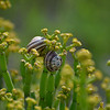 Snails on Euphorbia blossoms.