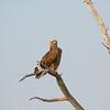 Juvenile Dark Tawny Eagle (Aquila rapax) near<br /> Onkoshi in Etosha National Park, Namibia<br /> September 17, 2013