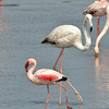 Lesser Flamingo (Phoenicopterus minor) in front of  the larger and paler Greater Flamingos (Phoenicopterus roseus)<br /> Walvis Bay, Namibia<br /> September 11, 2013