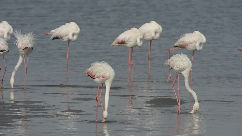 "Video of Greater Flamingos ""dancing"" - stirring up the sandy bottom in search of food.<br /> Walvis Bay, Namibia  (Phoenicopterus roseus)<br /> September 11, 2013"