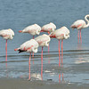 Greater Flamingos, each resting on one leg.<br /> Walvis Bay, Namibia  (Phoenicopterus roseus)<br /> September 11, 2013
