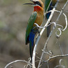 White-fronted Bee-eater (Merops bullockoides) - note the tiny tongue.