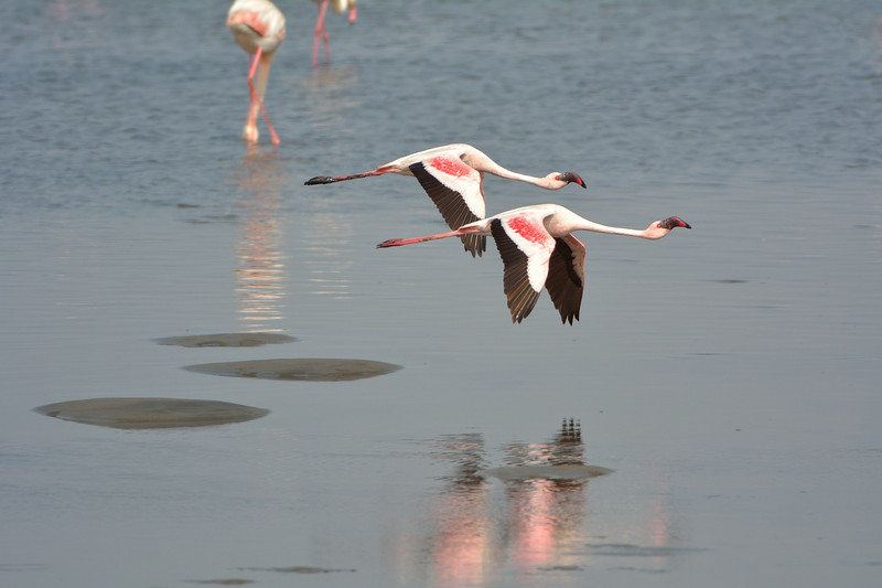 Reflected flying pair of Lesser Flamingos (Phoenicopterus minor)<br /> Walvis Bay, Namibia<br /> September 11, 2013