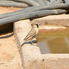 Sociable Weaver (Philetairus socius)<br /> Namibia<br /> September 9, 2013