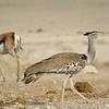Kori Bustards (Ardeotis kori) at waterhole<br /> Okaukeujo in Etosha National Park, Namibia<br /> September 14, 2013