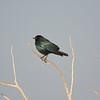 Cape Glossy Starling (Lamprotornis nitens)<br /> Okaukeujo in Etosha National Park, Namibia<br /> September 14, 2013