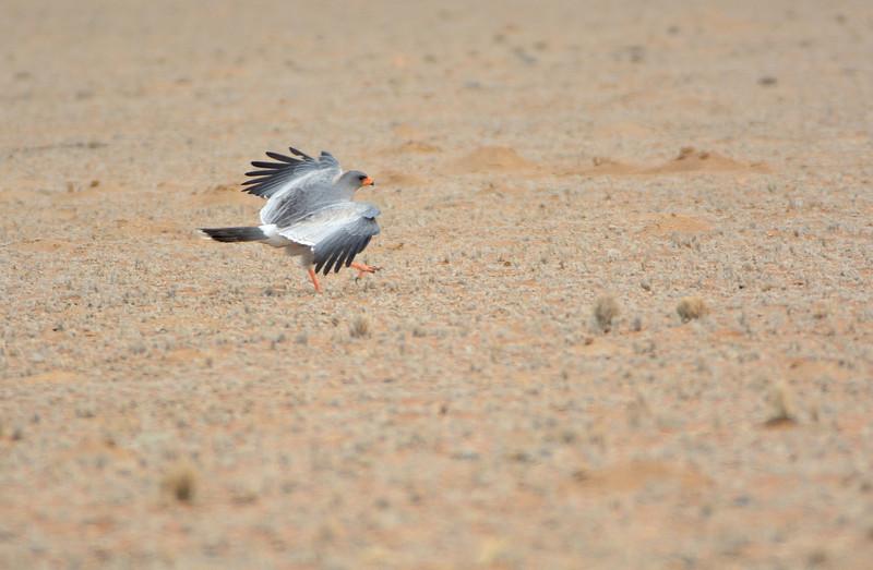Pale Chanting Goshawk (Melierax canorus) landing <br /> Namibia<br /> September 8, 2013