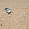 Pale Chanting Goshawk (Melierax canorus) landing <br /> Namibia<br /> September 8, 2013