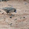 Sociable Weaver (Philetairus socius)<br /> Namibia<br /> September 7, 2013
