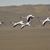 Lesser Flamingos (Phoenicopterus minor) flying in front of a sand dune<br /> Walvis Bay, Namibia<br /> September 11, 2013