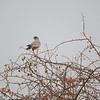 Southern Pale Chanting Goshawk (Melierax canorus) near<br /> Onkoshi  in Etosha National Park, Namibia<br /> September 17, 2013