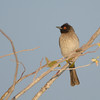 African Red-eyed Bulbul (Pycnonotus nigricans)<br /> Okaukeujo in Etosha National Park, Namibia<br /> September 14, 2013