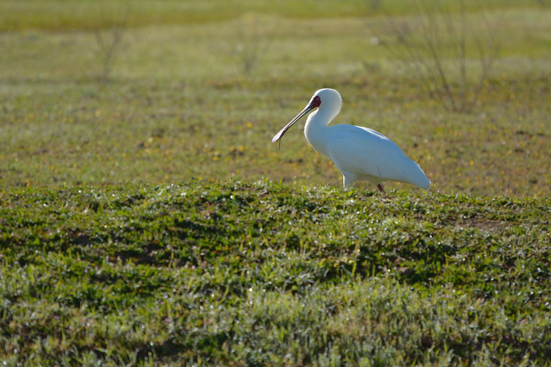 African Spoonbill (Platalea alba)<br /> South Africa<br /> September 4, 2013