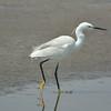 Little Egret (Egretta garzetta)<br /> Walvis Bay, Namibia<br /> September 11, 2013