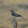 Lilac-breasted Roller (Coracias caudatus) near<br /> Onkoshi in Etosha National Park, Namibia<br /> September 16, 2013