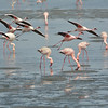 Flock of Lesser Flamingos mixed with a few Greater Flamingos<br /> Walvis Bay, Namibia<br /> September 11, 2013