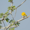 Yellow blossom on an acacia tree known as Giraffe Thorn or as Camel Thorn.