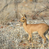 Steenbok female (Raphicerus campestris)