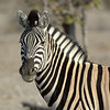 The plains zebra (Equus quagga, formerly Equus burchelli), also known as the common zebra or Burchell's zebra, is the most common and geographically widespread species of zebra.