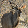 Greater Kudu bull (Tragelaphus strepsiceros)