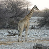 A Giraffe (Giraffa camelopardalis) cautiously approaches the waterhole for a drink.