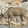 A young male Kudu enjoying the waterhole.