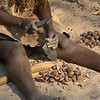 Woman cracking Mangetti nuts. The meat of these very hard  nuts is a staple of their diet.