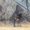 Sable Antelope (Hipportragus niger) stands in front of a termite mound in Mahango Game Reserve.<br /> September 18, 2013