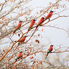 Carmine bee-eaters. These beautiful birds were a main reason Beth wanted to make this trip to southern Africa.