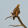 Juvenile Tawny Eagle.