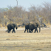 Herd of elephants followed the sable antelope herd.