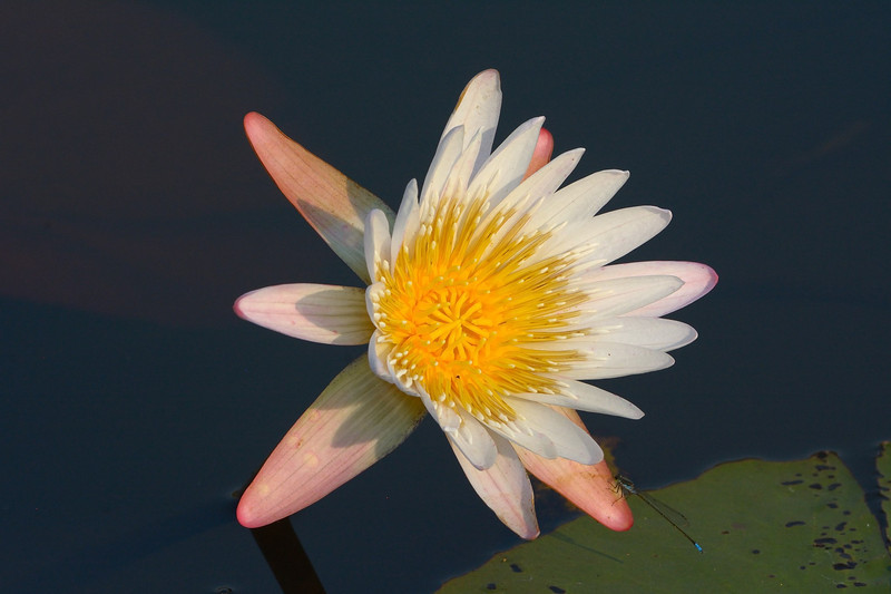 Nymphaea lotus, the white water lily, or white lotus which has night-blooming white or cream flowers and is widespread in tropical Africa to southern Africa