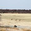 Springbok on the edge of the pan.