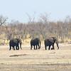 More elephants moving toward the Okavango River.