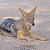 Black-backed jackal (Canis mesomelas) resting near where we were eating a picnic breakfast.
