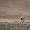 Solitary Gemsbok  (Oryx) against a sand dune.