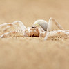 Dancing White Lady Spider on the Namib Desert sand.