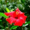 19 Hybiscus, VOC Gardens, Cape Town, sep 29, 2016 IMG_09041